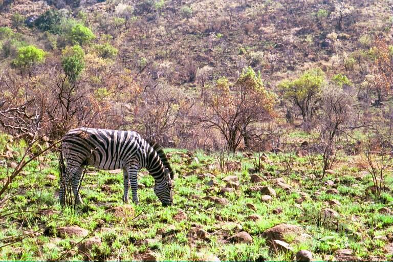 Zebra Rocks