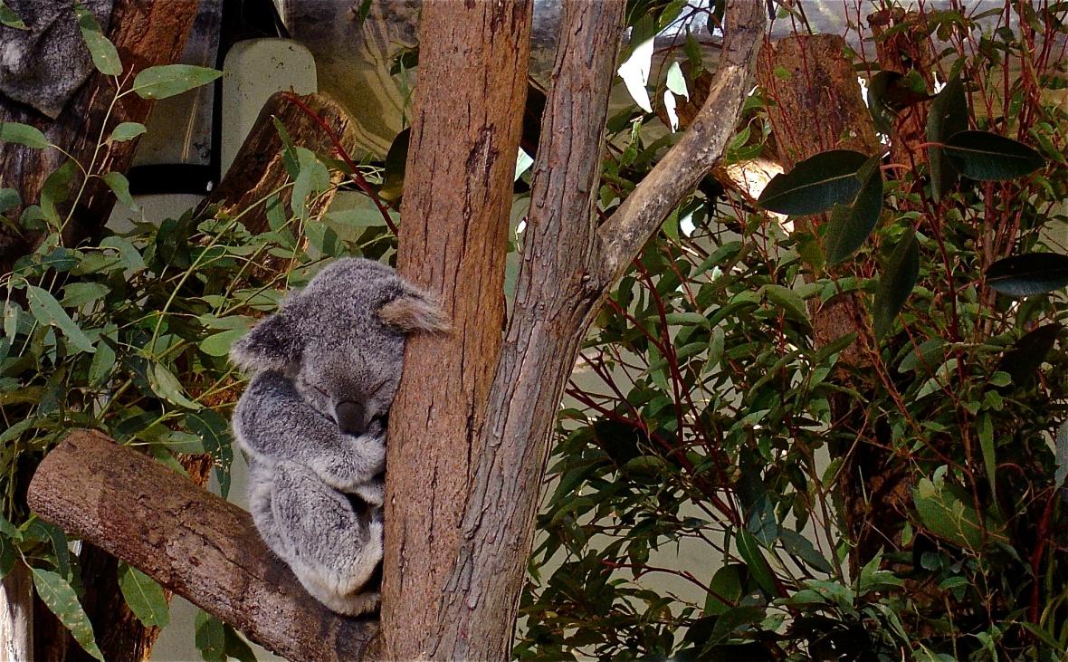 Taronga Zoo Koala