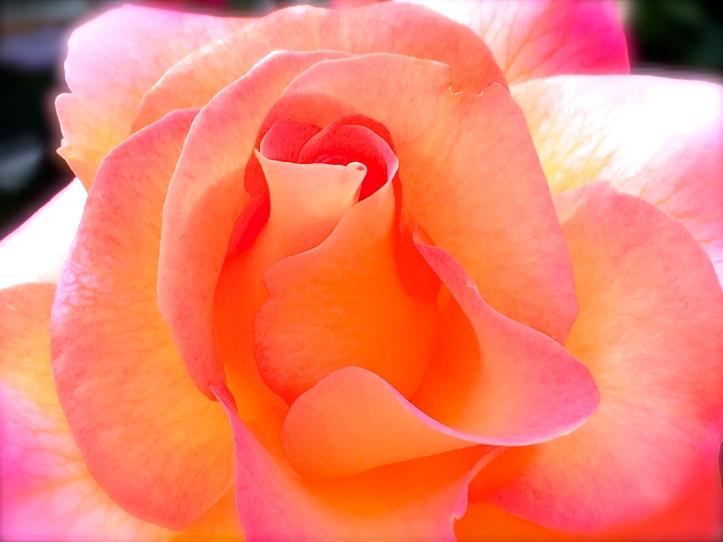 Balboa Rose Garden Petals