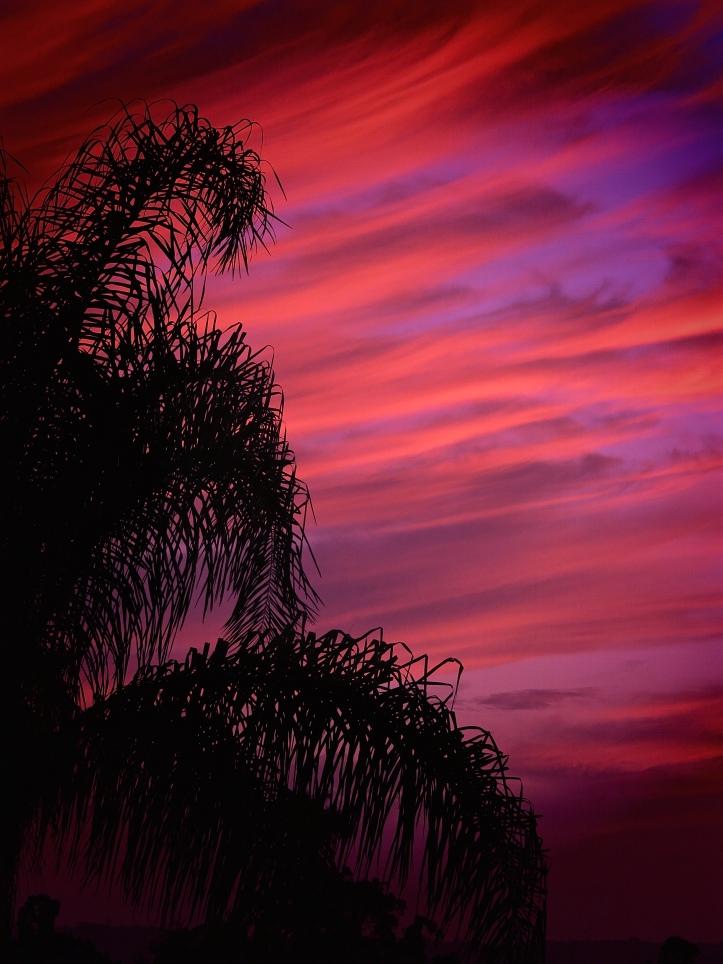 Sunset Scarlet Palm